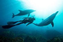 御蔵島ドルフィンスイム:イルカと人