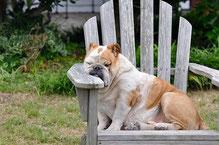 bouledogue anglais marron et blanc assis sur une chaise par coach canin 16 votre educateur canin en charente