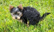 un chien yorkshire fait caca pour un marquage fecal par coach canin 16 dressage chien charente