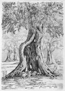 Nr.0064;  Olivenbaum
