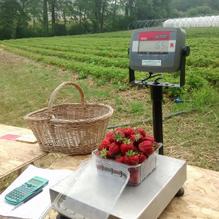 Pesée des fraises après récolte