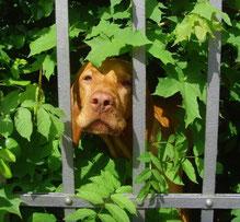 Hund blickt durch einen Gartenzaun, Sinnbild für Medienbeobachtung und Medienkritik.