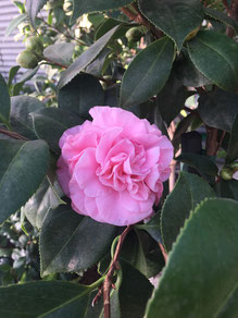 Camellias bloom in the winter