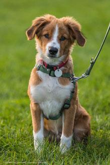 Österreichischer Pinscher ÖsterreichischerPinscher Welpe Austrian Pincher puppy Kurzhaarpinscher