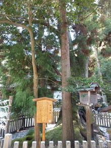 拝殿前にある「巳の神杉」。大三輪神は蛇体であるという。