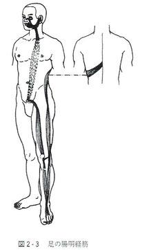 足の陽明経筋
