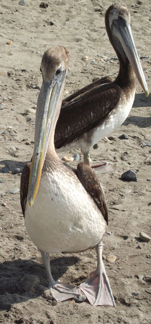 pelicans Huanchaco