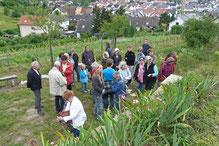 Exkursion im Landfriedwingert, Foto: A. Treffer