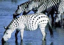 """Sieht man sehr selten, """"das verliebte Zebra"""";-))"""