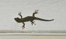 Ist er nicht wunderbar, dieser kleine Gecko?
