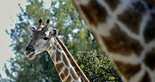Nichts Spezielles, nur ein paar Giraffen?