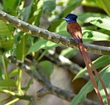 Afrikanischer Paradies Fliegenschnäpper