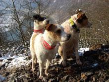Parson Terrier bei der Saujagd