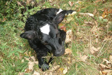 veau vient de naître au gîte de l'arthour