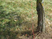 Effet du réseau tellurique grand Diagonal sur le tronc de l'arbre.