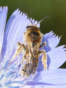 07.07.2020 : Gelbbindige Furchenbiene, Halictus scabiosae, Weibchen an der Wegwarte