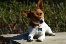 Le chien peut lire les signaux d'invitation au jeu donnés par les humains ?