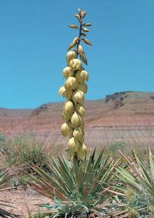 Bild Yucca gilbertiana (c) Josef Busek