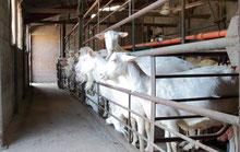 traite de chèvres Saanen pour la fabrication de fromages de la ferme de La Pérotonnerie