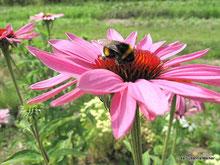 Echinacin www.kraeuter-entdecken.de