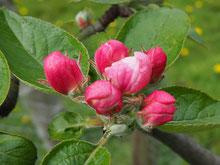 Apfelblüten www.kraeuter-entdecken.de