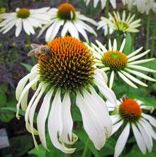 Echinaceae weiß www.kraeuter-entdecken.de