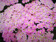 Schafgarbe, rosa www.kraeuter-entdecken.de
