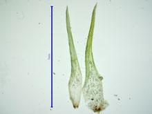 Bild 7 Die Blätter der beiden Sprossspitzen im Vergleich.