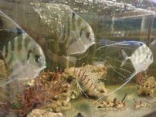 珍しい魚も活魚水槽で楽々