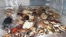 活魚水槽で二枚貝を飼育。