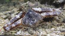 蟹などの甲殻類も心配無し!活魚水槽で元気に歩いています。