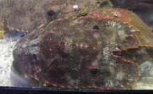 ウチワエビも活魚水槽で大量に飼育可能!