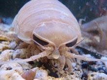 活きたグソクムシを食べられる活魚水槽