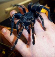 Insectophobie- Spinnen hautnah erleben - Ausstellung mit Riesenspinnen in Deutschland