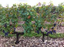 Les raisins attendent les vendanges en Graves