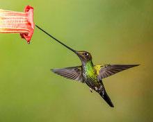 colibri porte epee