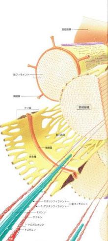 骨格筋で内部は、筋束>筋線維>筋細線維>筋フィラメントに細分化されていきます。