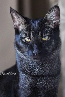 Купить чаузи стоит если вы хотите кошку с дикой внешностью и домашним характером.Чаузи это полноценный гибрид F1 с ценой от 200 000₽