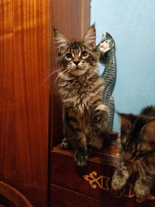 мейн кун, котята мейн кун, купить мейн куна, рыжий котенок мейн кун,   рыжая кошечка мейн кун, кошки, коты, котята, питомник одесса,   фото мейн куна, maine coon, maine coon cattery, kitten maine coon