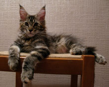 мейн кун, котята мейн кун, купить мейн куна, рыжий кот  мейн  кун,  кот  мейн  кун, кошка мейн кун, котята мейн кун, питомник,  купить  мейн  куна,  фото мейн куна, рыжий мейн кун, рыжая кошка мейн  кун, maine coon, maine coon cattery, kitten maine coon