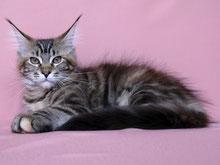 котята мейн кун,   мейн кун, котята мейн кун, купить мейн куна, рыжий котенок мейн кун,   рыжая кошечка мейн кун, кошки, коты, котята, питомник одесса,   фото мейн куна, maine coon, maine coon cattery, kitten maine coon