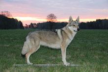 Wolfshund beim Sonnenaufgang