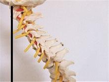 骨格模型でストレートネックの重心線を示した画像
