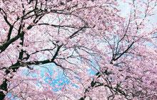 風見速英二の桜画像