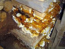 Echter Hausschwamm durchdringt Mauerwände und zerstört dahinterliegendes Holz... bspw. Tragende Holzbalken.