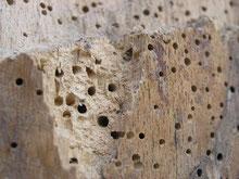 Holzwurm-Löcher / Holzwürmer bei der Arbeit