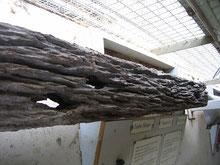 Gewußt? Auch Termiten ernähren sich von Holz. So sieht eine ehemalige Eisenbahnschwelle aus, nachdem Termiten sich daran gütlich getan haben.