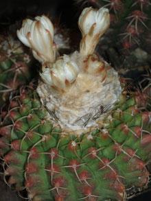 Discocactus hartmannii ssp. magnimammus