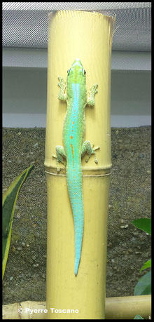 Phelsuma robertmertensi (Männchen)