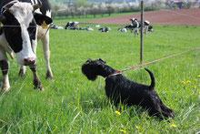 unsere Hunde sind Kuhfreundlich